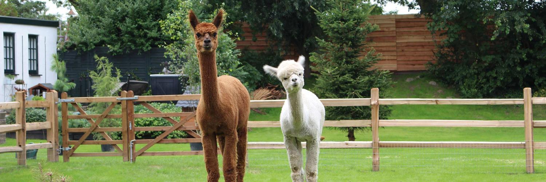 twee nieuwsgierige Alpaca's voor een cederhouten omheining. Landelijk duurzaam houten hekwerk van Poda Omheiningen