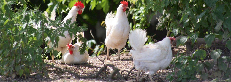 Økologisk ægproduktion - besøg hos Vallø Øko