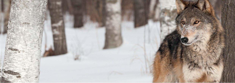 Ulve og hegn - er dine dyr i sikkerhed?