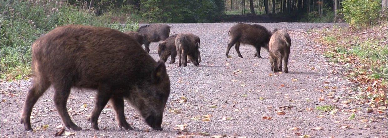 Bison og vildsvin i skoven