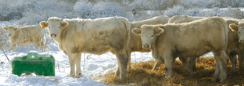 Eine Herde Kühe steht neben einer Ganzjahres-Balltränke auf einer schneebedeckten Weide. Die Balltränke benötigt keinen Strom und versorgt Ihre Kühe das ganze Jahr über mit frischem Trinkwasser | Poda Zaun
