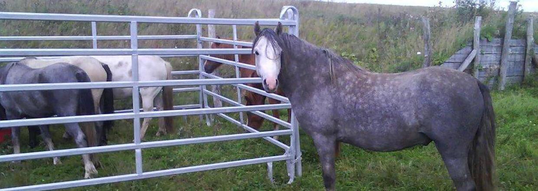 Drei Pferde wurden von der Herde getrennt und stehen nun in einem Panel, während die restlichen Pferde sie im Auge behalten | Poda Zaun