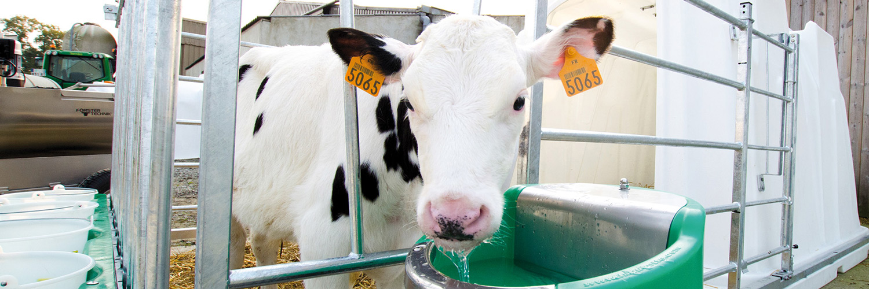 En hvid kalv drikker af en helårsdrikkekop | Poda Hegn