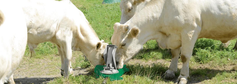 En ko drikker vand fra en mulepumpe, mens dens kalv drikker af sidekoppen | Poda Hegn