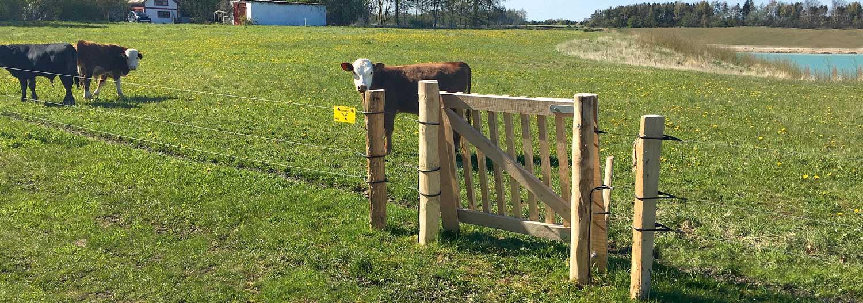 En liten flokk kyr går og gresser i innhegningen sin i et naturområde. En klappgrind gir folk til fots adgang til dyrenes innhegning | Poda Gjerder