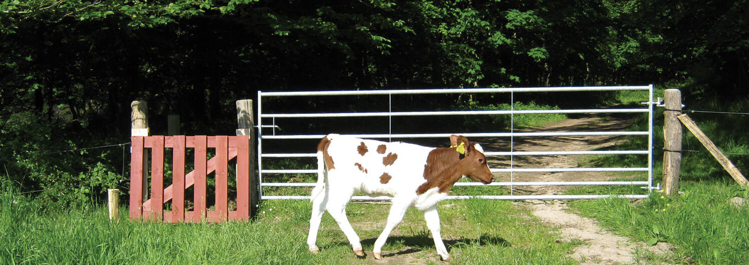 En kalv går lugnt förbi en stålgrind och en klappgrind i trä | Poda Stängsel