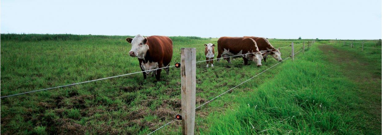 Elektrische afrasteringen voor rundvee<br>