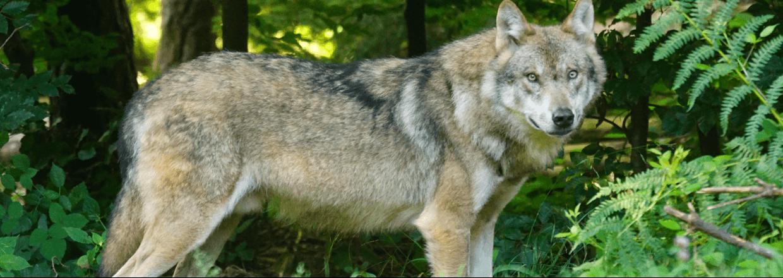 Hegn mod ulv