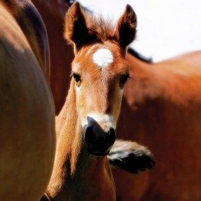 Lægtehegn til heste